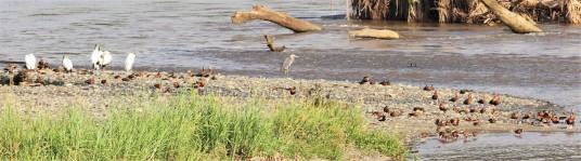 whistling ducks and heron