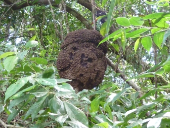Termites high in the trees, because of the danger of flooding.