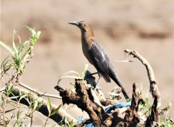 Female Grackle