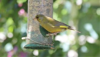 Greenfinch rare in my garden