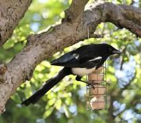 Magpie raiding the feeder