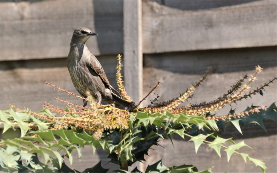 Juvenile starling they have increased in numbers