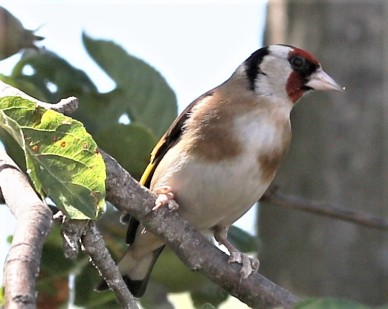 Goldfinch with fungal feet