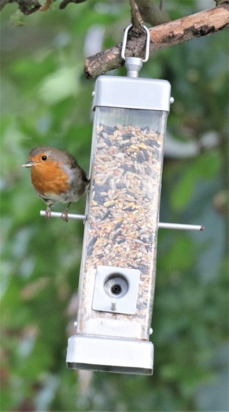 Robin normally a ground feeder but has adapted
