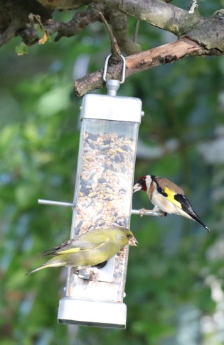 Greenfinch and goldfinch mixed feed