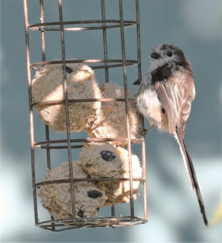 Fat balls and long tailed tit