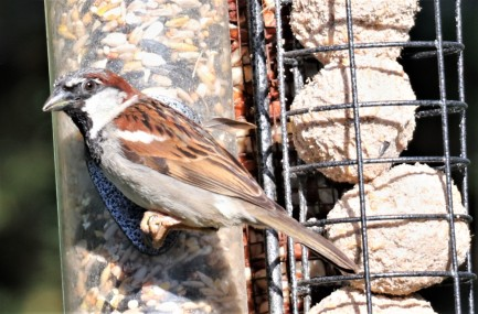 House sparrow mixed seed